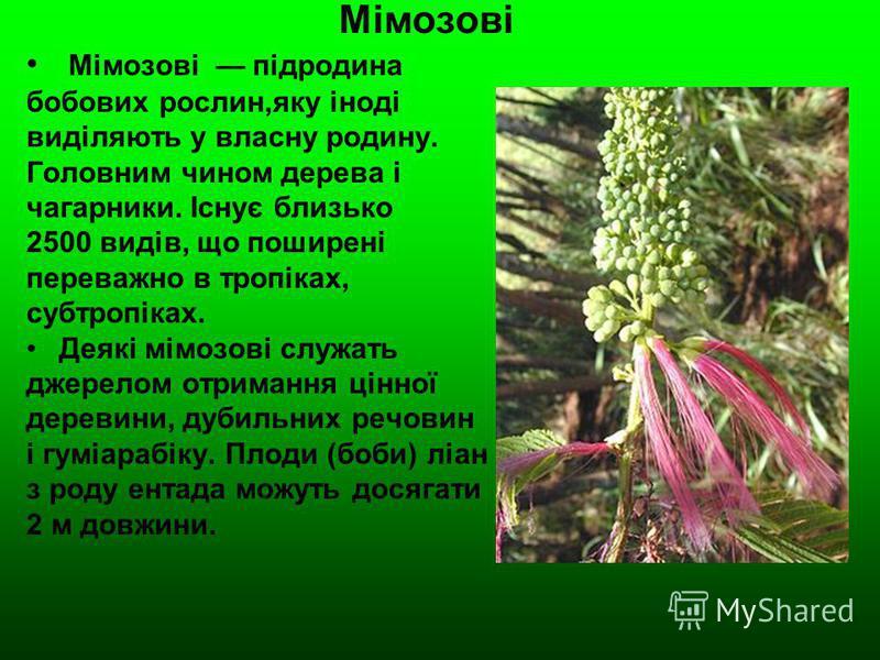 Мімозові Мімозові підродина бобових рослин,яку іноді виділяють у власну родину. Головним чином дерева і чагарники. Існує близько 2500 видів, що поширені переважно в тропіках, субтропіках. Деякі мімозові служать джерелом отримання цінної деревини, дуб