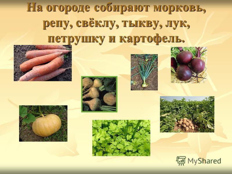 На огороде собирают морковь, репу, свёклу, тыкву, лук, петрушку и картофель.