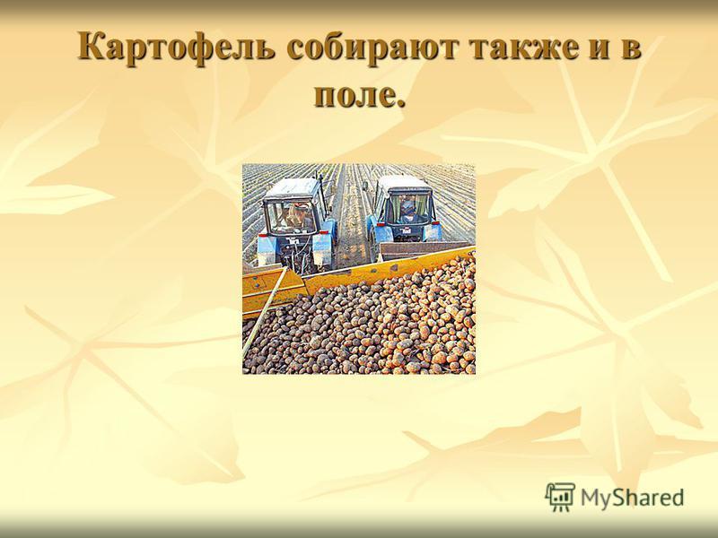 Картофель собирают также и в поле.