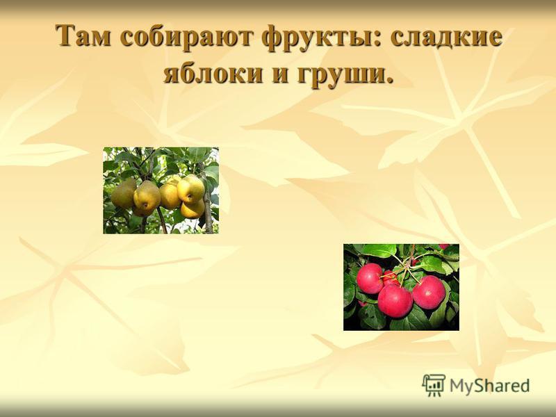 Там собирают фрукты: сладкие яблоки и груши.