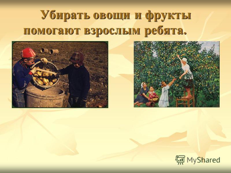 Убирать овощи и фрукты помогают взрослым ребята.