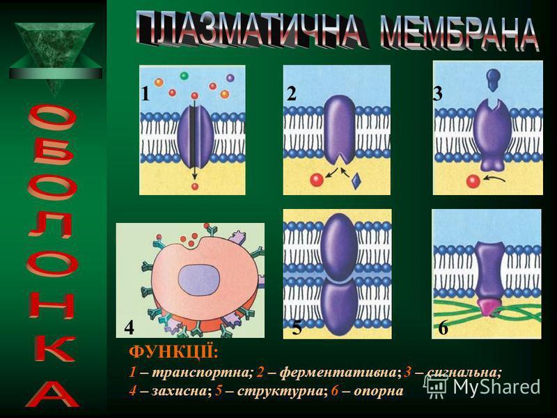 ФУНКЦІЇ: захисна – оберігає за допомогою антитіл внутрішнє середовище клітини від несприятливих впливів зовнішнього середовища транспортна – забезпечення обміну речовин з навколишнім середовищем сигнальна – особливості будови плазматичної мемб рани,