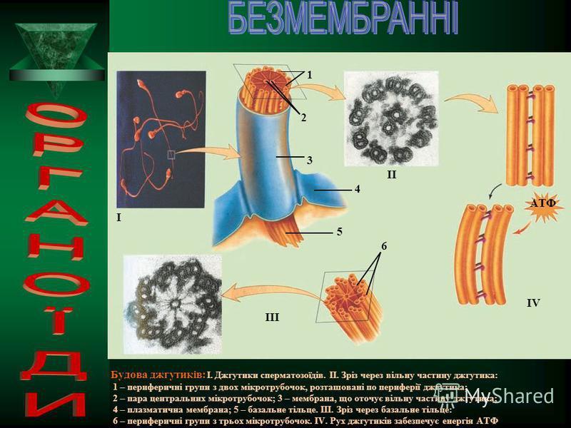 ОРГАНЕЛИ РУХУ : Джгутики і війки мають вигляд тоненьких виростів цитоплазми ( діаметром приблизно 0,25 мкм), укритих плазматичною мембраною, всередині яких розташована складна система мікротрубочок: по периферії розташоване кільце із девяти комплексі