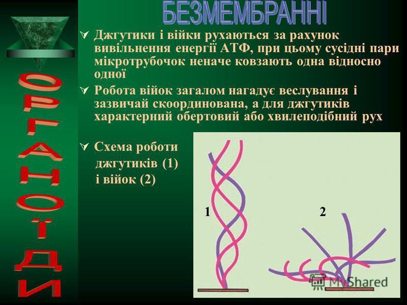 1 2 3 І 4 АТФ І 5 6 IV ІІІ Будова джгутиків: І. Джгутики сперматозоїдів. ІІ. Зріз через вільну частину джгутика: 1 – периферичні групи з двох мікротрубочок, розташовані по периферії джгутика; 2 – пара центральних мікротрубочок; 3 – мембрана, що оточу