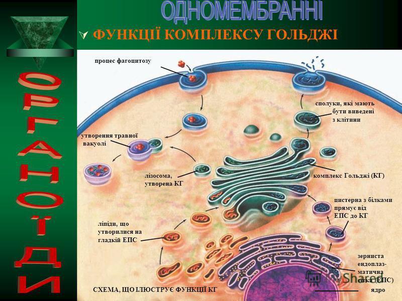 КОМПЛЕКС ГОЛЬДЖІ – одна з універсальних органел клітин еукаріотів і її основною структурною одиницею є диктіосома – скупчення одномембранних пласких цистерн, поруч з якими розташовані пухирці та канальці диктіосома Білки утворюються на мембранах ендо