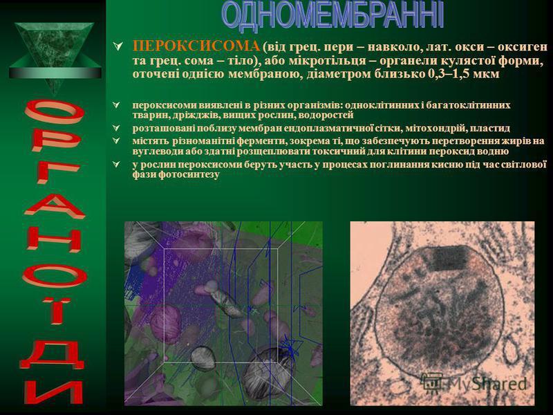 ВАКУОЛІ – (від лат. вакуус – порожній) – органели клітини, які мають вигляд порожнин, оточених мембраною і заповнених рідиною ВИДИ І ФУНКЦІЇ ВАКУОЛЬ: травні вакуолі, у яких перетравлюються сполуки і мікроорганізми, що надходять у клітину вакуолі росл