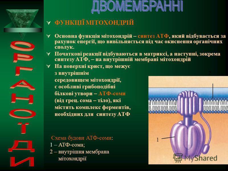 МІТОХОНДРІЇ (від грец. мітос – нитка і хондріон – зерно) – органели клітин більшості видів рослин, грибів та тварин, які слугують своєрідними клітинними «генераторами енергії» І 4 3 2 1 ІІ 5 Будова мітохондрії: І – фотографія, зроблена за допомогою е