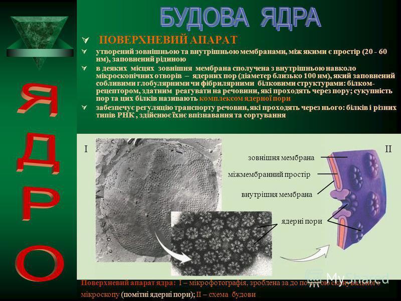 ЗАГАЛЬНИЙ ПЛАН Найчастіше ядро кулясте або еліпсоподібне, рідше – неправильної форми (наприклад, у деяких типів лейкоцитів ядра мають відростки); розміри варіюють від 1 мкм (деякі одноклітинні тварини, водорості) до 1 мм (яйцеклітини деяких риб і зем