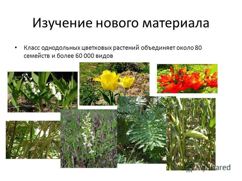 Изучение нового материала Класс однодольных цветковых растений объединяет около 80 семейств и более 60 000 видов