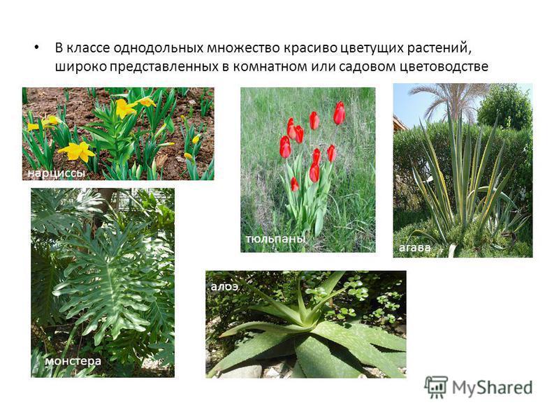 В классе однодольных множество красиво цветущих растений, широко представленных в комнатном или садовом цветоводстве нарциссы тюльпаны монстера агава алоэ