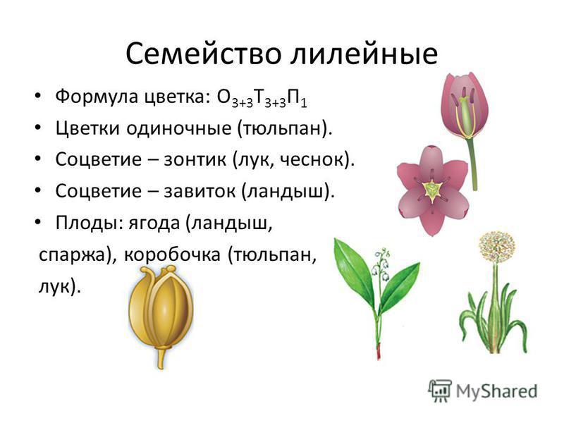 Семейство лилейные Формула цветка: О 3+3 Т 3+3 П 1 Цветки одиночные (тюльпан). Соцветие – зонтик (лук, чеснок). Соцветие – завиток (ландыш). Плоды: ягода (ландыш, спаржа), коробочка (тюльпан, лук).