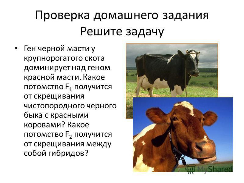 Проверка домашнего задания Решите задачу Ген черной масти у крупнорогатого скота доминирует над геном красной масти. Какое потомство F 1 получится от скрещивания чистопородного черного быка с красными коровами? Какое потомство F 2 получится от скрещи