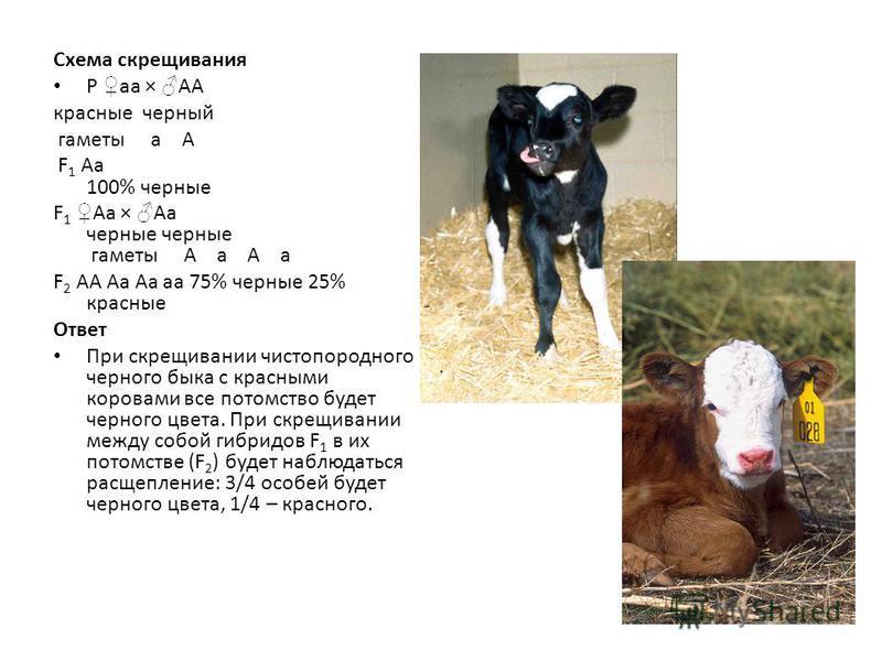Схема скрещивания Р aa × AA красные черный гаметы a A F 1 Aa 100% черные F 1 Aa × Aa черные черные гаметы A a A a F 2 AA Aa Aa aa 75% черные 25% красные Ответ При скрещивании чистопородного черного быка с красными коровами все потомство будет черного