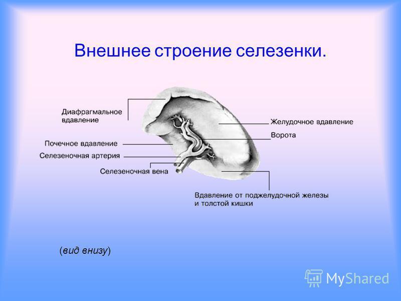 Вспомогательные органы кровеносной системы. Селезенка Печень