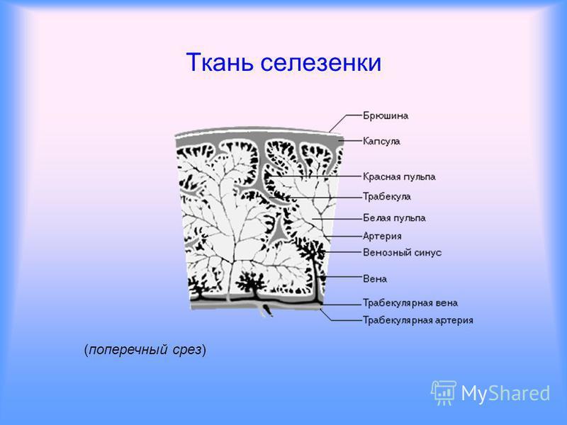 (вид внизу) Внешнее строение селезенки.