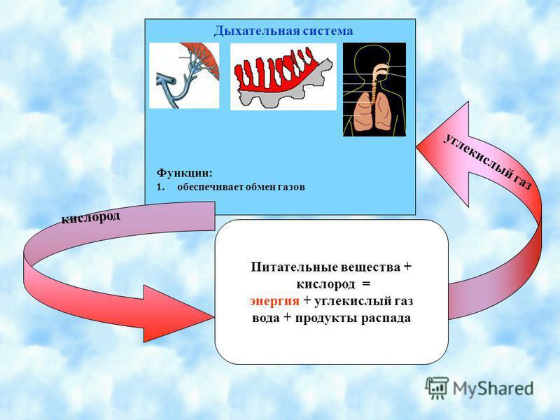 Питательные вещества + кислород = энергия + углекислый газ вода + продукты распада Дыхательная система Функции: 1. обеспечивает обмен газов кислород углекислый газ