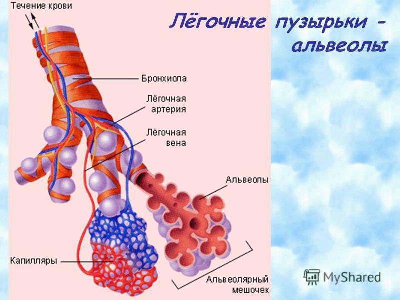Лёгочные пузырьки - альвеолы