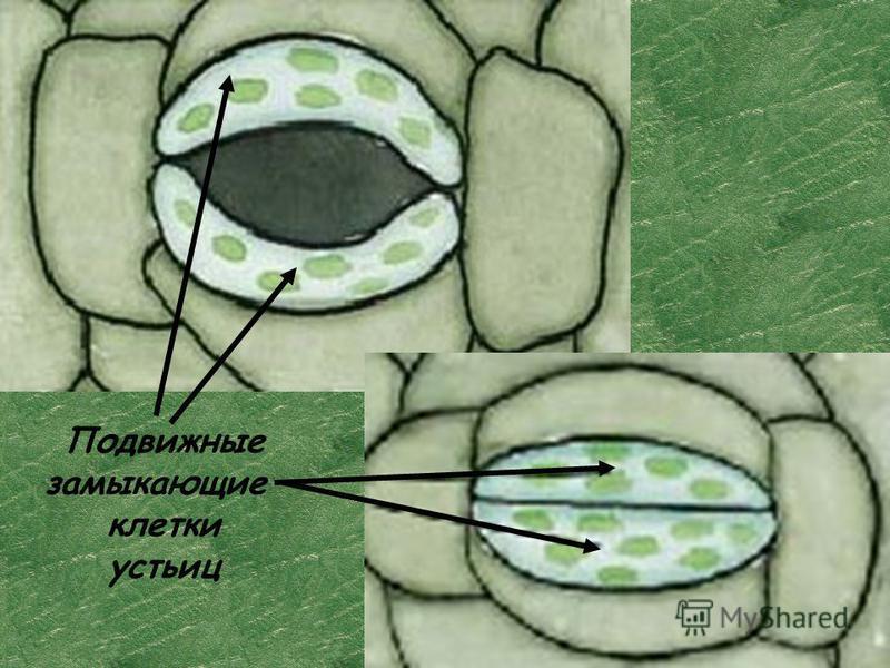Подвижные замыкающие клетки устьиц
