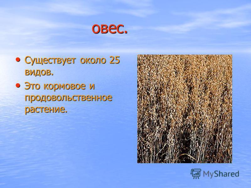 овес. овес. Существует около 25 видов. Существует около 25 видов. Это кормовое и продовольственное растение. Это кормовое и продовольственное растение.