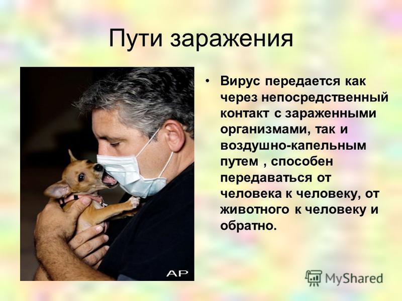 Пути заражения Вирус передается как через непосредственный контакт с зараженными организмами, так и воздушно-капельным путем, способен передаваться от человека к человеку, от животного к человеку и обратно.
