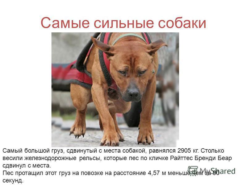 Самые сильные собаки Самый большой груз, сдвинутый с места собакой, равнялся 2905 кг. Столько весили железнодорожные рельсы, которые пес по кличке Райттес Бренди Беар сдвинул с места. Пес протащил этот груз на повозке на расстояние 4,57 м меньше чем