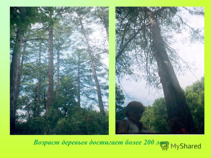 Возраст деревьев достигает более 200 лет.
