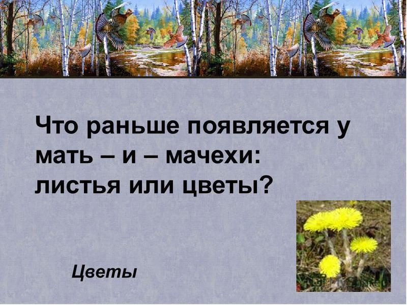Что раньше появляется у мать – и – мачехи: листья или цветы? Цветы