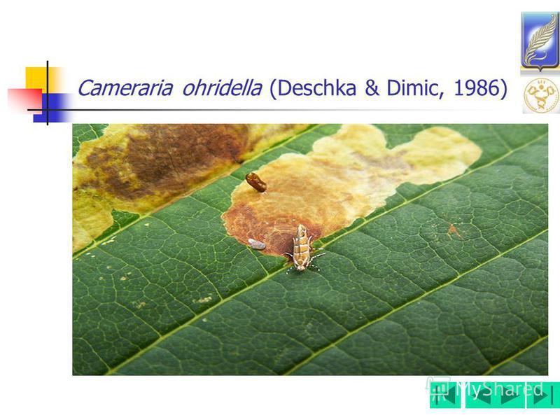 Cameraria ohridella (Deschka & Dimic, 1986)