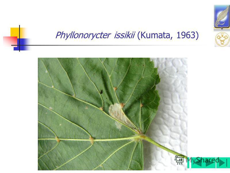 Phyllonorycter issikii (Kumata, 1963)