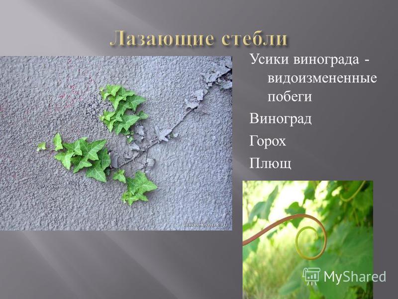 Усики винограда - видоизмененные побеги Виноград Горох Плющ