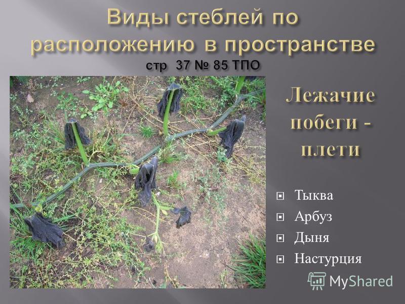 Тыква Арбуз Дыня Настурция