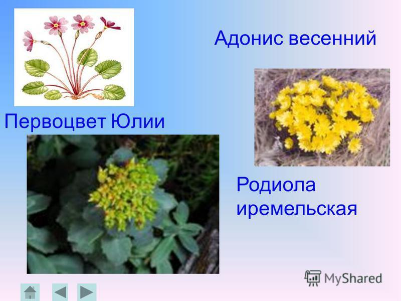 Адонис весенний Первоцвет Юлии Родиола иремельская