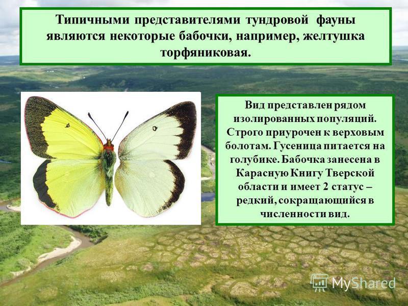 Типичными представителями тундровой фауны являются некоторые бабочки, например, желтушка торфяниковая. Вид представлен рядом изолированных популяций. Строго приурочен к верховым болотам. Гусеница питается на голубике. Бабочка занесена в Карасную Книг