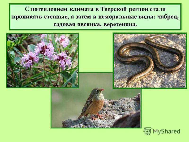 С потеплением климата в Тверской регион стали проникать степные, а затем и неморальные виды: чабрец, садовая овсянка, веретеница.
