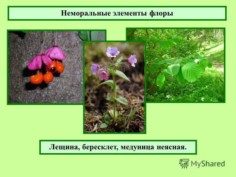 Лещина, бересклет, медуница неясная. Неморальные элементы флоры