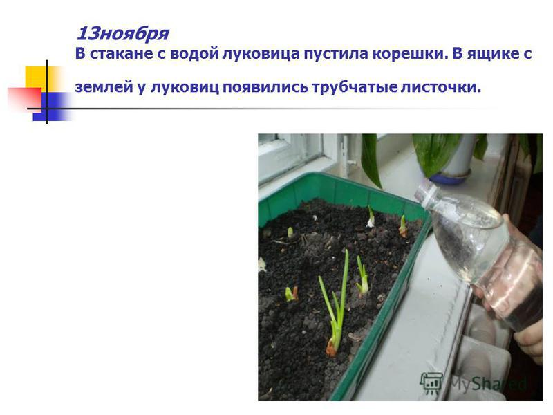 13 ноября В стакане с водой луковица пустила корешки. В ящике с землей у луковиц появились трубчатые листочки.