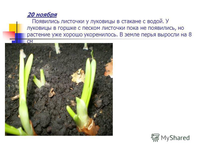 20 ноября Появились листочки у луковицы в стакане с водой. У луковицы в горшке с песком листочки пока не появились, но растение уже хорошо укоренилось. В земле перья выросли на 8 см