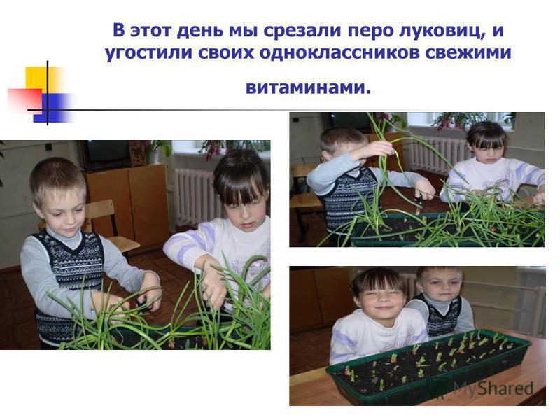 В этот день мы срезали перо луковиц, и угостили своих одноклассников свежими витаминами.