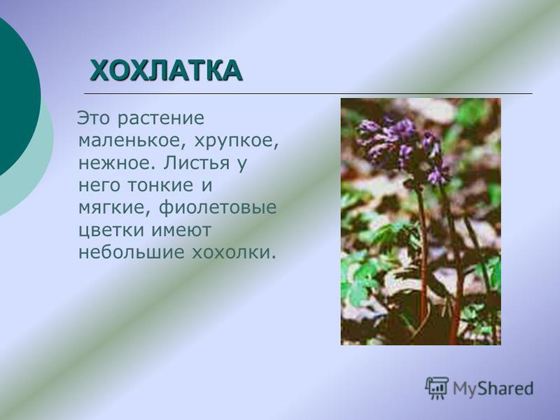 ХОХЛАТКА Это растение маленькое, хрупкое, нежное. Листья у него тонкие и мягкие, фиолетовые цветки имеют небольшие хохолки.