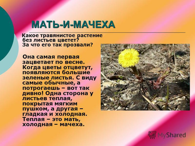 МАТЬ-И-МАЧЕХА Какое травянистое растение без листьев цветет? За что его так прозвали? Она самая первая зацветает по весне. Когда цветы отцветут, появляются большие зеленые листья. С виду самые обычные, а потрогаешь – вот так дивно! Одна сторона у лис