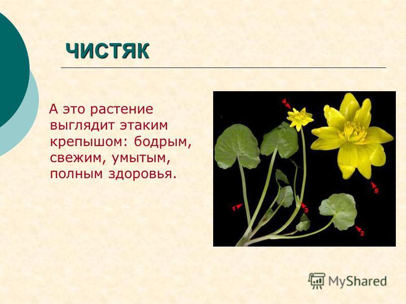 ЧИСТЯК А это растение выглядит этаким крепышом: бодрым, свежим, умытым, полным здоровья.