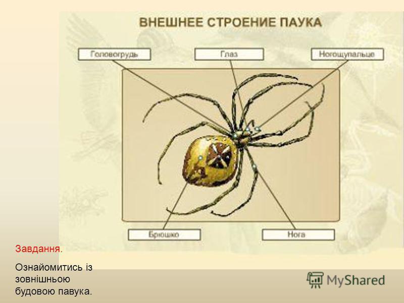 Завдання. Ознайомитись із зовнішньою будовою павука.