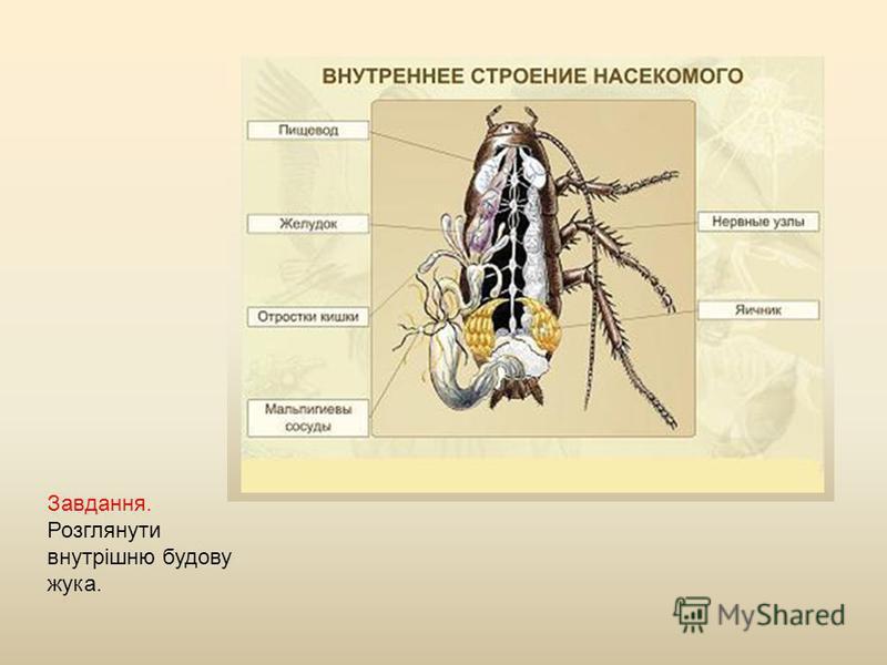 Завдання. Розглянути внутрішню будову жука.