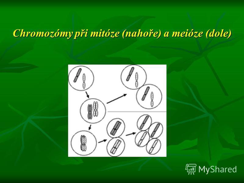 Chromozómy při mitóze (nahoře) a meióze (dole)