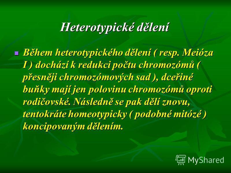Heterotypické dělení Během heterotypického dělení ( resp. Meióza I ) dochází k redukci počtu chromozómů ( přesněji chromozómových sad ), dceřiné buňky mají jen polovinu chromozómů oproti rodičovské. Následně se pak dělí znovu, tentokráte homeotypicky