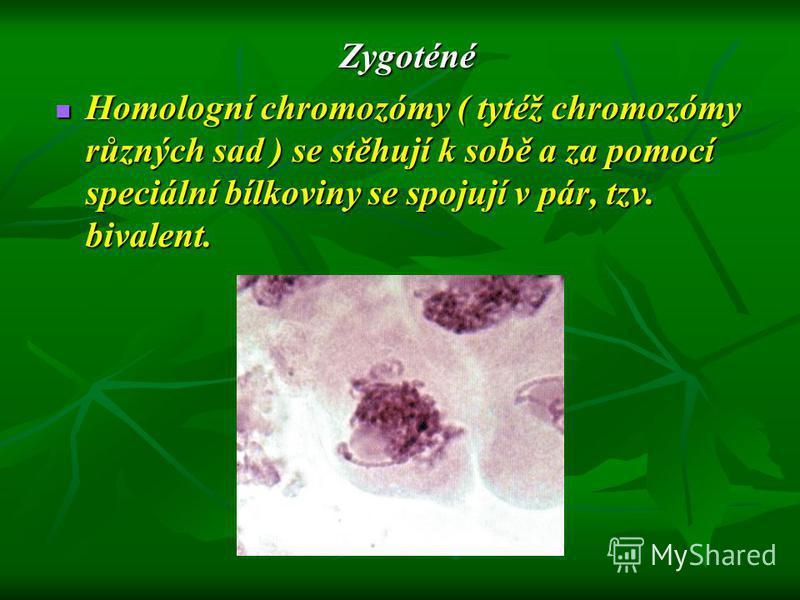 Zygoténé Homologní chromozómy ( tytéž chromozómy různých sad ) se stěhují k sobě a za pomocí speciální bílkoviny se spojují v pár, tzv. bivalent.