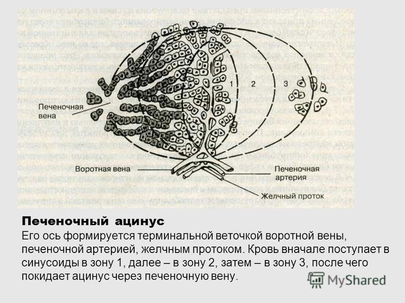 Печеночный ацинус Его ось формируется терминальной веточкой воротной вены, печеночной артерией, желчным протоком. Кровь вначале поступает в синусоиды в зону 1, далее – в зону 2, затем – в зону 3, после чего покидает ацинус через печеночную вену.