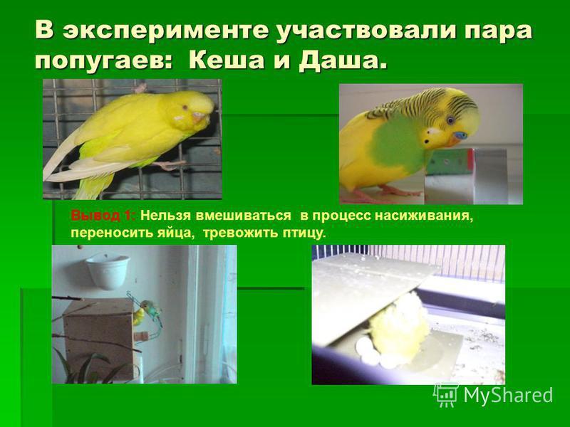 В эксперименте участвовали пара попугаев: Кеша и Даша. Вывод 1: Нельзя вмешиваться в процесс насиживания, переносить яйца, тревожить птицу.