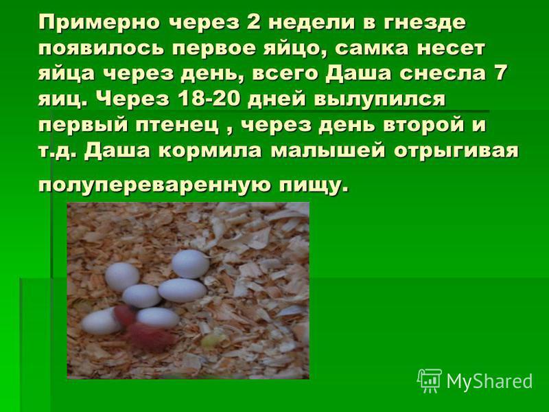 Примерно через 2 недели в гнезде появилось первое яйцо, самка несет яйца через день, всего Даша снесла 7 яиц. Через 18-20 дней вылупился первый птенец, через день второй и т.д. Даша кормила малышей отрыгивая полупереваренную пищу.