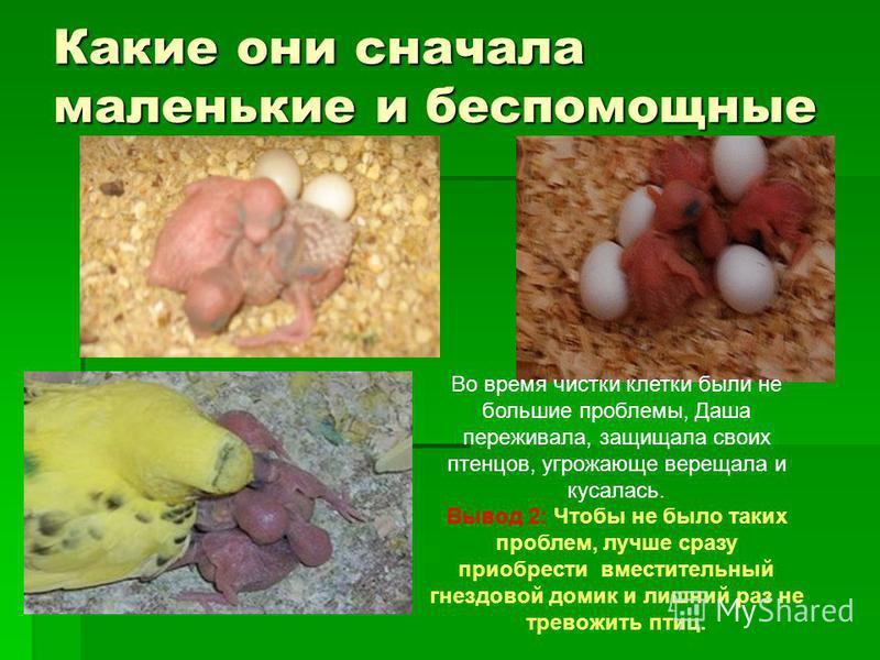 Какие они сначала маленькие и беспомощные Во время чистки клетки были не большие проблемы, Даша переживала, защищала своих птенцов, угрожающе верещала и кусалась. Вывод 2: Чтобы не было таких проблем, лучше сразу приобрести вместительный гнездовой до